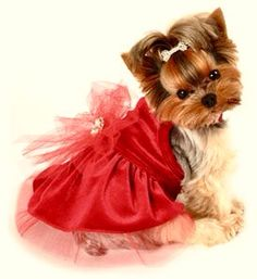 Yorkie in her Christmas dress!