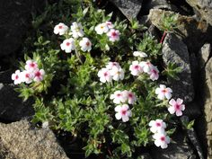 Androsace villosa is an alpine plant, widespread in the mountains of Europe and Asia. It is frequently grown by alpine gardeners