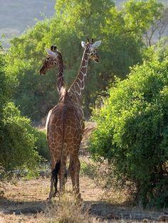 two-headed giraffe???