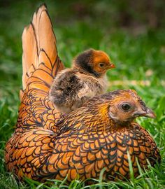 Animals riding animals farm, chicken, bird, anim, mother, babi, beauti, hens, feather