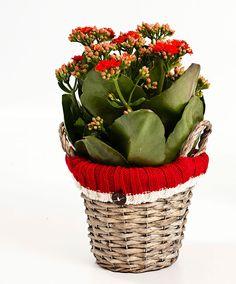 Kalanchoe Rossa con decorativo cesto natalizio