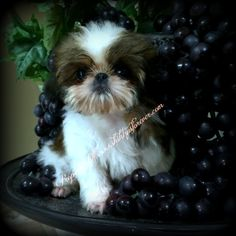 342 Best Imperial Shih Tzu Images Cute Puppies Baby Shih Tzu
