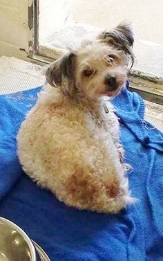SAFE --- Little PJ is pretty scared and doesn't want to move around and meet people while he tries to figure out what's happening and hopes his family finds him. Please take a look at her and her Video and SHARE. Thanks!  #A4785969 My name is Pj and I'm an approximately 3 years, 6 month old male poodle toy. https://www.facebook.com/171850219654287/photos/pb.171850219654287.-2207520000.1419375919./349842381855069/?type=3&theater