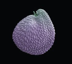 electron micrograph image of a Franklin's sandwort seed, conserved at Kew's Millennium Seed Bank and photographed by Rob Kesseler and Madeline Harley.