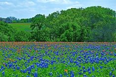 """And just in case all that helpful information wasn't enough, there's even an app for the bluebonnets in Ennis! It's called, """"Ennis, Y'all!"""" and it includes maps of each trail as well as restaurants, shops, hotels, and other things to see and do during your stay in the town."""