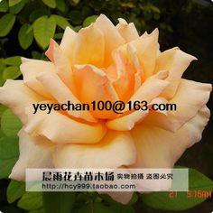 Медаль розового садовые растения балкон 100 семена цветов купить на AliExpress
