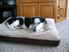 Missy is an #adoptable #Basset #Hound mix #Dog in #Albuquerque, #NEWMEXICO. Don't miss out on Missy!  Missy is an adorable, 10 month old basset hound / border collie mix with a heart of gold!  Missy loves people and o...