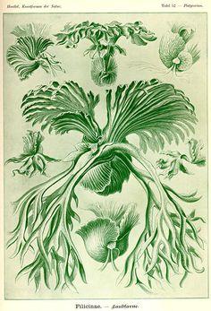 Ernst Haeckel, Kunstformen der Natur (1904), Tafel 52