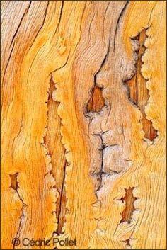 Animalia: Ecorces : Voyage dans l'intimité des arbres du monde, de Cédric Pollet