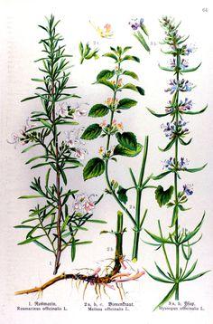 img/gravures anciennes de fleurs/gravure couleur ancienne de fleur - Rosmarinus officinalis; Melissa officinalis; Hyssopus officinalis.jpg