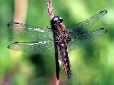 la libellula…