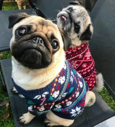 Discover more relevant information on funny pugs. Check out our site. Cute Pugs, Cute Puppies, Cutest Pug Ever, Boxers, Pug Gifs, Pugs And Kisses, Cute Animals, Baby Animals, Baby Pugs