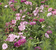 Rose Musk Mallow//Malva moschata//Fleur Sauvage et plante de jardin//200 graines