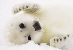 A pup harp seal rests on the ice floes off the coast of the Magdalen Islands, Quebec.