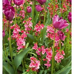 I have just purchased Wallflower 'Giant Pink' from Sarah Raven - https://www.sarahraven.com/flowers/plants/wallflowers/erysimum_cheiri_giant_pink.htm