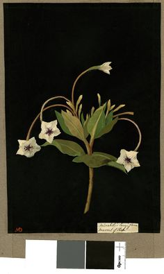 Recto Mirabilis Longiflora (Pentandria Monogynia), from an album (Vol. 1776 Collage of coloured papers, with bodycolour and watercolour, on black ink background © The Trustees of the British Museum Plant Illustration, Botanical Illustration, Art Through The Ages, Paper Artwork, Collage Artists, Botanical Prints, Art Forms, New Art, Flower Art