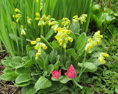 Cowslips & mini tulips by bstudio18, via Flickr