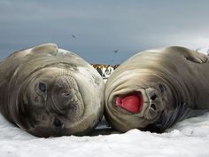 "Photograph by Yva Momatiuk and John Eastcott.    ""Fattened and then abandoned by mothers who leave to mate anew, weaned elephant seal pups stick close together until ready for a first season at sea."""