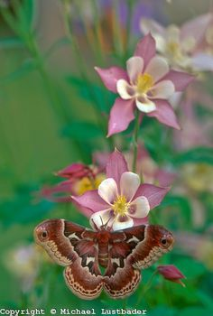Promethea moth (Callosamia promethea)    by © Michael Lustbader... (I have one in a cocoon in my garbage patiently waiting 5 months as of 3/21/13!!!)