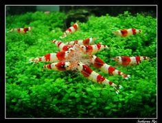 Redesign my entire aquarium, make it into an underwater zen garden :) . Add crystal red shrimps :3