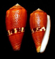 Conus coccineus 39.5 mm F++ from Samar Philippines by Vangie Cereno in fb.