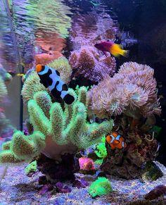 Aquarium Care Tips for Saltwater Fish Saltwater Aquarium Beginner, Saltwater Aquarium Fish, Saltwater Tank, Freshwater Aquarium, Coral Reef Aquarium, Marine Aquarium, Coral Reefs, Nano Reef Tank, Reef Tanks