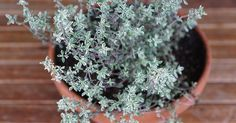 4 Reasons Thyme Is An Herb For Winter Health ndash Herbal Academy This herb tucked away in your kitchen may have more uses than you think! Thyme is an herb for winter health. Healing Herbs, Medicinal Plants, Evergreen Herbs, Home Remedies For Herpes, Cough Remedies, Herpes Genital, Thyme Plant, Essential Oils For Eczema, Easy Herbs To Grow
