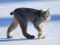 Lince-do-canadá com pernas longas com patas grandes e peludas auxiliam o seu caminhar na neve profunda . No verão , sua pelagem assume uma cor marrom avermelhada . Seu peso médio varia de 8 a 11 kg , com 85 a 115 cm de comprimento .