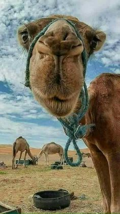 Animals ©: Camels in the Desert Nature Animals, Animals And Pets, Baby Animals, Funny Animals, Cute Animals, Beautiful Creatures, Animals Beautiful, Regard Animal, Camelus