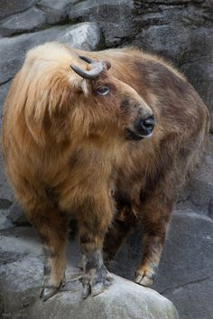 Takin, a goat-antelope found in the eastern Himalayas