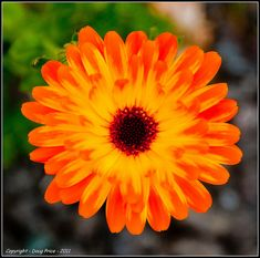 calendula marigold | Recent Photos The Commons Getty Collection Galleries World Map App ... October birthflower my next tattoo for the baby we lost
