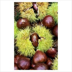 GAP Photos - Garden & Plant Picture Library - Castanea sativa - Sweet Chestnuts - GAP Photos - Specialising in horticultural photography