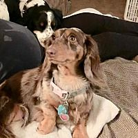 Available Pets At Central Texas Dachshund Rescue In Humble Texas