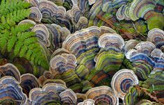 Turkey tail mushrooms, a type of bracket fungi, are spied on a fall day in Belcarra, British Columbia, Canada. Known particularly in Chinese medicine for its healing properties, the mushroom is believed to strengthen the immune system against disease and infection.