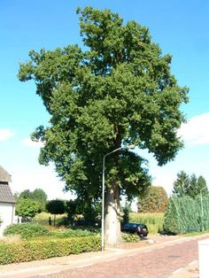 Cultureel Brabant CuBra Bomen Acht acacia