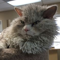 Curly-haired cat breeds have actually come to be popular recently, and consist of several of the most attractive as well as good-natured pet cats in the feline globe.