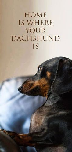 home  is where your dachshund is