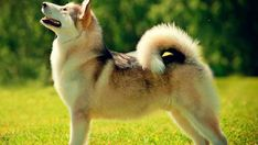 Find information and pictures of the dog breed Alaskan Malamute dog. Learn more about their temperament, health and care needs and take our Breed Selector Quiz to see if the Alaskan Malamute is the right match for you. Alaskan Klee Kai Puppy, Alaskan Malamute, Alaska Dog, Cat Crying, Malamute Puppies, Siberian Huskies, Chow Chow, Happy Dogs, Big Dogs
