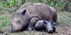 Nace rinoceronte de especie en grave peligro de extinción -...