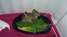 Raw food diet! Adorable baby rabbits snack on their freshly picked greens.