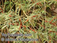 #Debregeasia sp., #Debregeasia_edilis #Urticaceae Сем-во #крапивные (?) Ареал - субтропическая зона в Гималаях и Тибете. Слегка лекарственная, слегка съедобна. Изучена мало. Очень ищу.