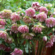 Helleborus 'Peppermint Ice'