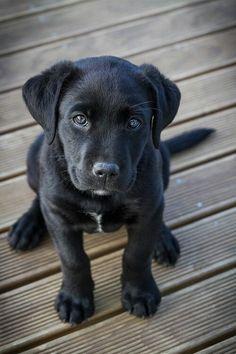 Labrador Retriever Pup ~ Classic Look #labradorpuppy #labradorretriever