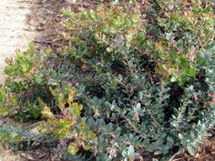 John Dourley - Arctostaphylos 'John Dourley' is a colorful, lower mounding Manzanita with brilliant tips, brilliant pink flowers, and clusters of red berries. It is fairly dependable in gardens and yields color all year long.