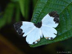 Nymphidium ninias