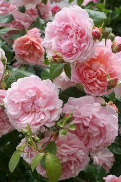 rosarot …