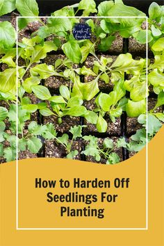 Hardening off seedlings for planting is crucial for the transition to the garden. Learn how to harden off seedlings prior to planting. Gardening For Beginners, Gardening Tips, Hardening Off Seedlings, Plant Labels, Outdoor Food, Plant Growth, Do It Yourself Projects, Plant Needs, Seed Starting