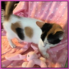 Callie - Female Munchkin Kitten For Sale in Florida, United States Munchkin Kittens For Sale, Munchkin Cat, Kitten For Sale, F2 Savannah Cat, Savannah Chat, Cat Allergies, Cat Nutrition, Cat Whisperer, Pet Breeds