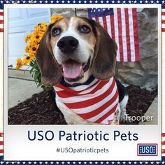 Trooper for troops! Our beagle supporter here is sporting his USO pride and showing his patriotic support for our military.