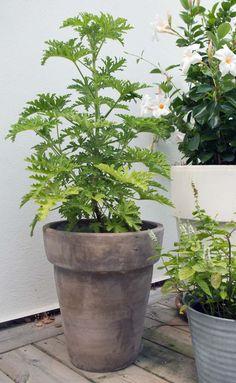 Så får du din Dr Westerlund att blomma - Blomfantast Skott, House Plants, Greenery, Homesteading, Greenhouses, Wild Things, Lounge Seating, Indoor Plants, Green Houses